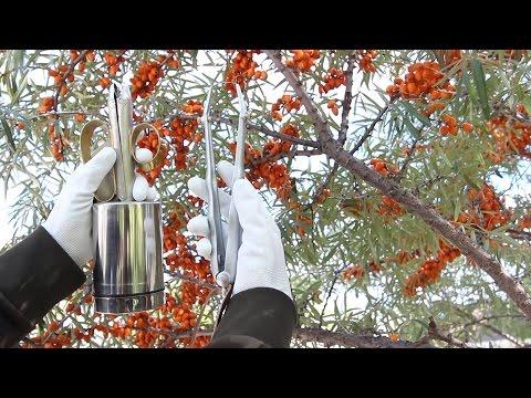 Sea Buckthorn, Облепиха, Sanddorn, Berry Harvesting Tools