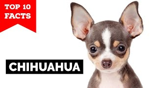 Chihuahua  Top 10 Facts