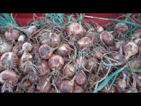 Noonday Sweet Onions -  How Sweet It Is !
