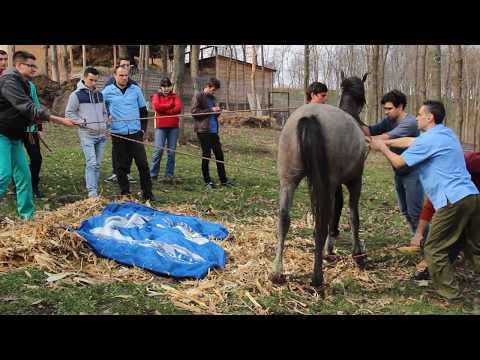 Castrare armasar pur-sange arab. Arab stallion emasculation.  Part II