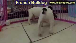 French Bulldog, Puppies,for,sale, In,orlando Florida, Fl, Deltona,melbourne,palm Coast,