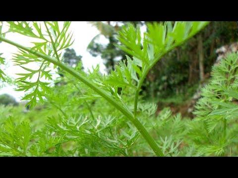 Полынь горькая Свойства растения