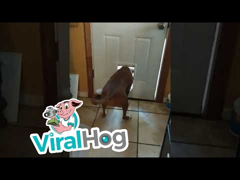 Jason King - WATCH: Doggy Door too Small for Visiting Pooch