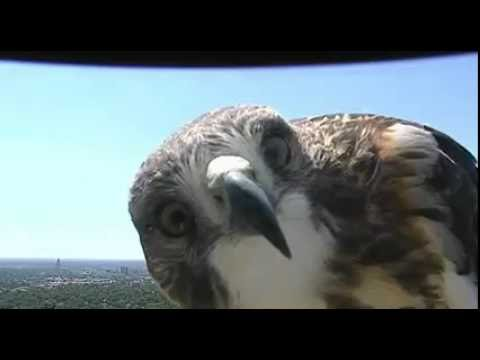 Curious hawk checks out weather cam in Lincoln, NE