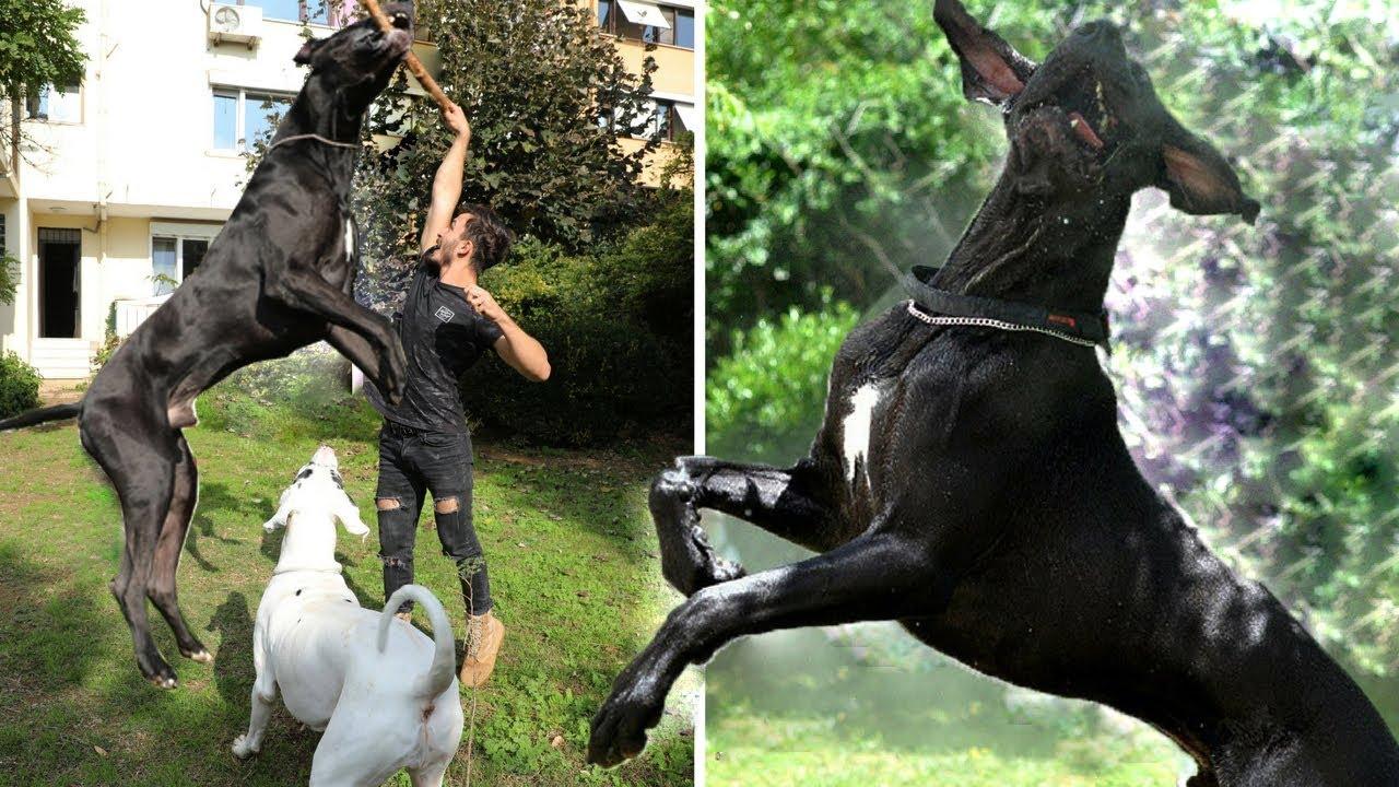 Dünyanın En Büyük ve Güçlü Köpek Irkı ( Great Dane )
