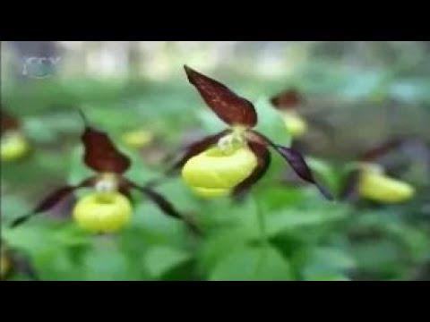 Растения Красной книги России: подснежник складчатый, кандык сибирский и кавказский