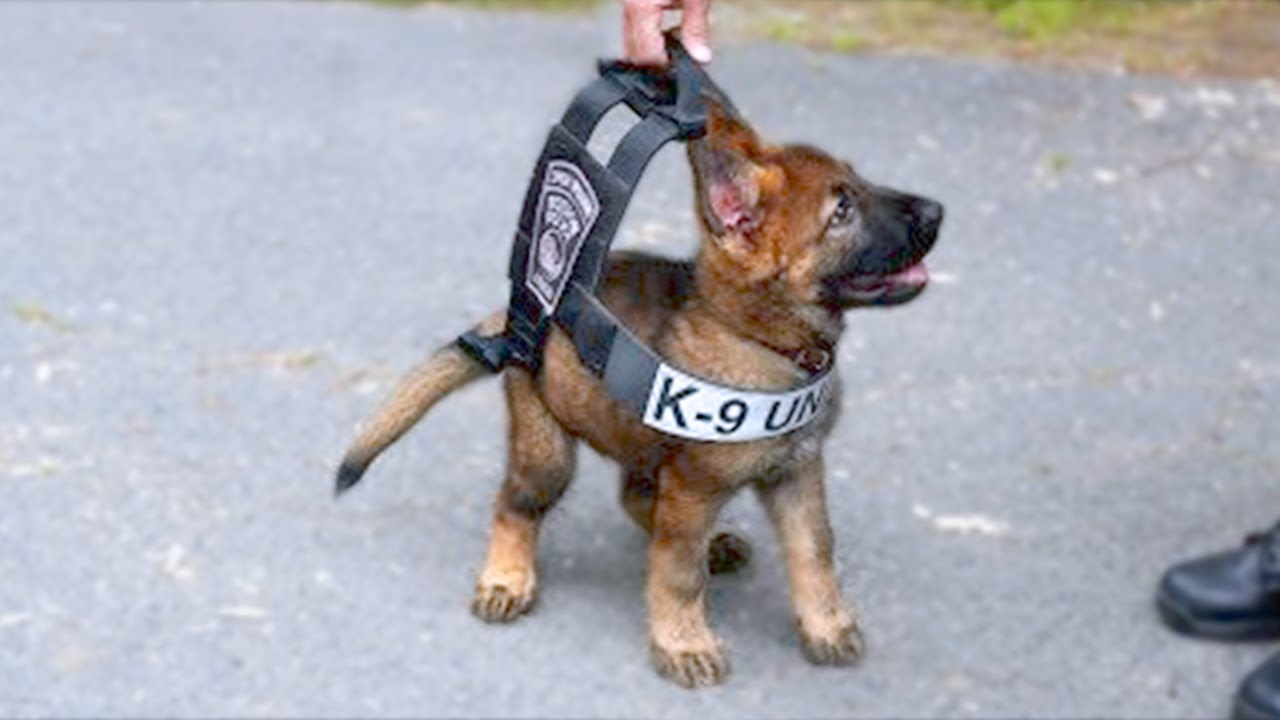 15 Ultimate Military And Police Dog Breeds