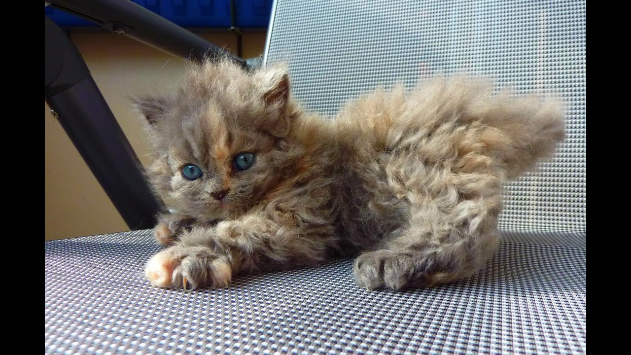Animal Planet Cats 101 Selkirk Rex Youtube