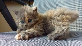 Animal Planet  :  Cats 101 ~ Selkirk Rex