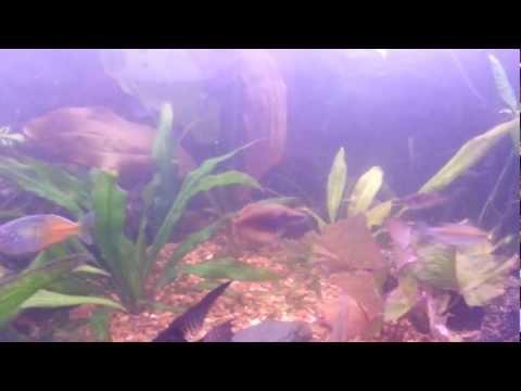 Regal Rainbowfish (Melanotaenia Trifasciata) During Water Change