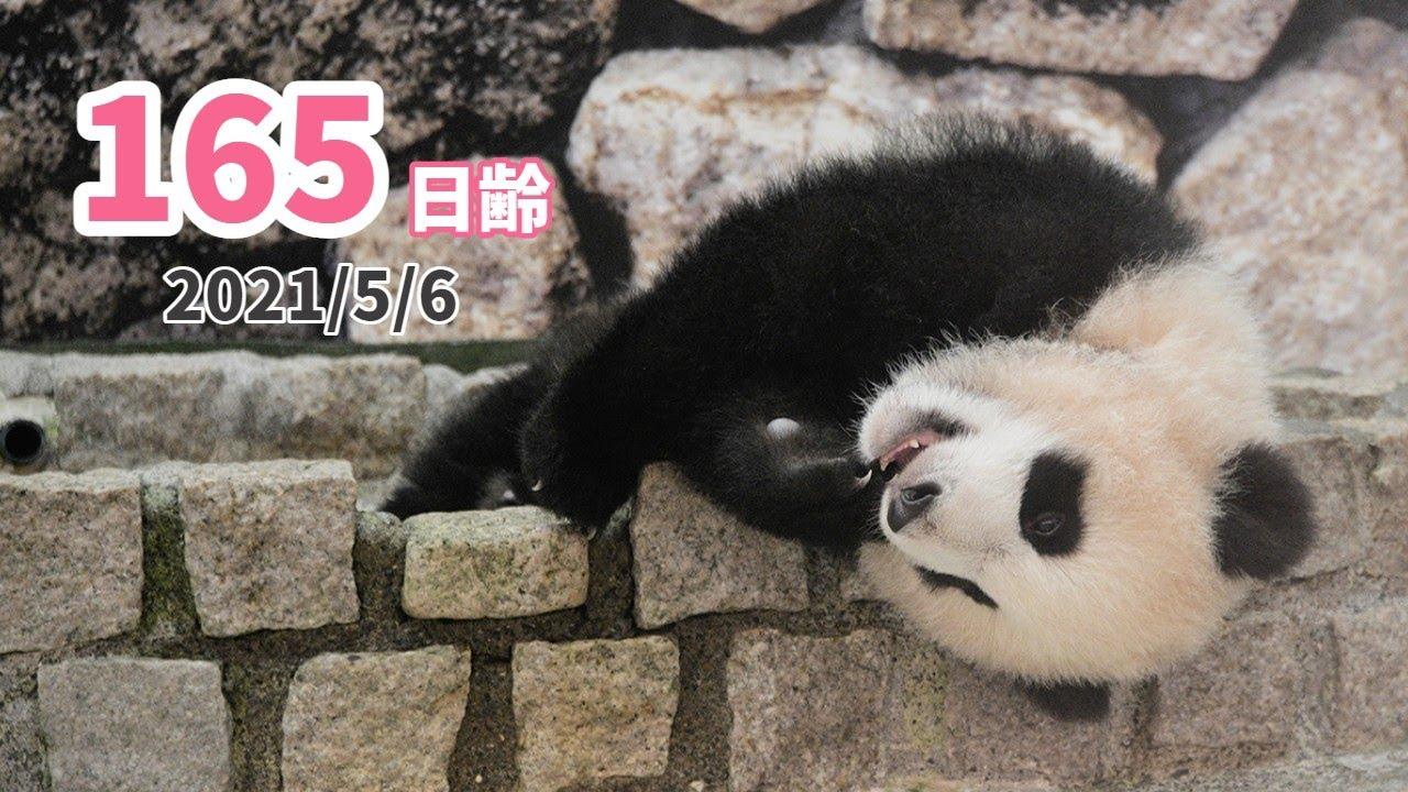 【パンダの赤ちゃん(楓浜)】眠いけどスタッフも気になる。。(165日齢)
