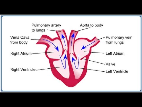 The Heart Gcse Additional Science B2 Revision Youtube