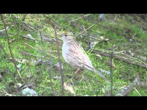 Leucistic Golden-crowned Sparrow, Sauvie Island, Oregon