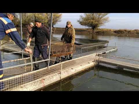Как получить чёрную икру уже через год. Закупка маточного стада стерляди в Астрахани. Узи.