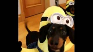 Minions Dachshund Funny Costumes
