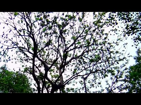 Bats' Tree at NTR Ghat in Hyderabad | HD Video