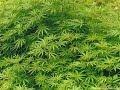 13 медведей марихуана и полиция mp3