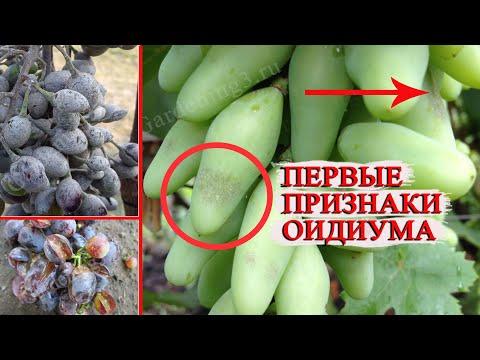 🍇Обработка винограда от Оидиума Болезни винограда