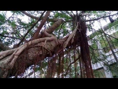 Banyan Tree Aerial roots, 榕樹氣根, 榕树气根, バンヤンルート, Raiz Banyan, جذر بانيان