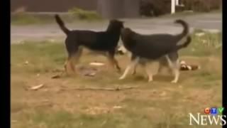 Wolf vs dog  attacks in broad daylight   YouTube | haider shah
