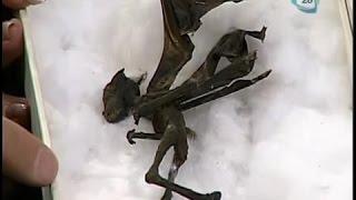 misteriosa creatura alata trovata in messico nel 2010