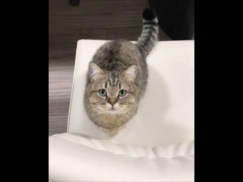 9GAG CUTE Cat knocking human for food