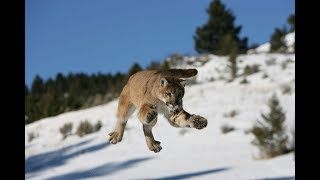 mountain-lion-attack-thwarted-last-second