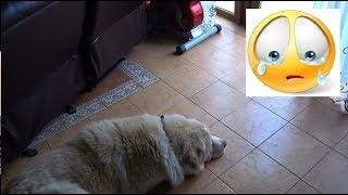 Собака очень грустит и ждёт хозяина