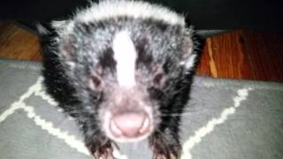 Pissed Hissing Skunk In Couch