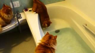 Рыжие котики в ванной