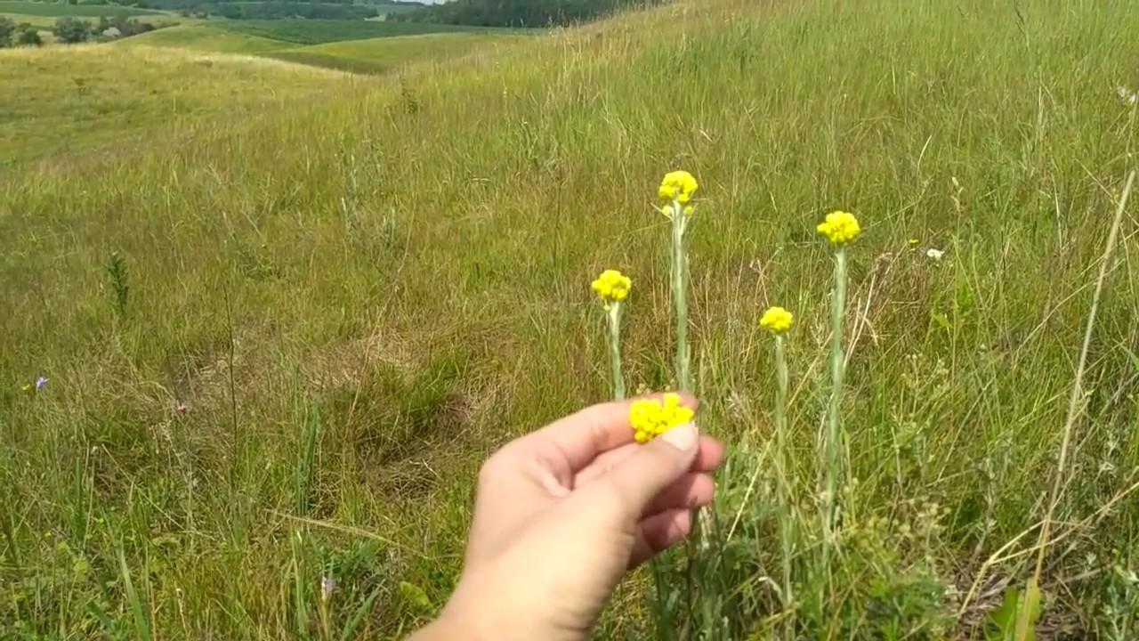 трава бессмертника фото
