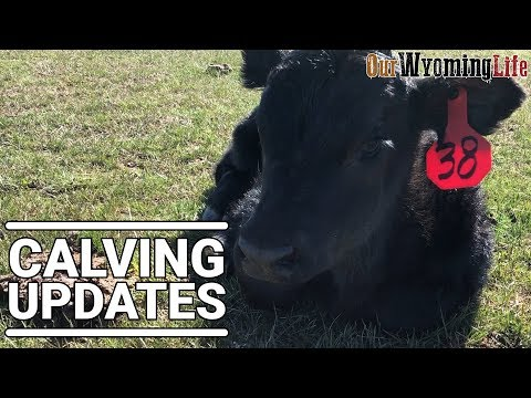 Calving and Growing the Herd
