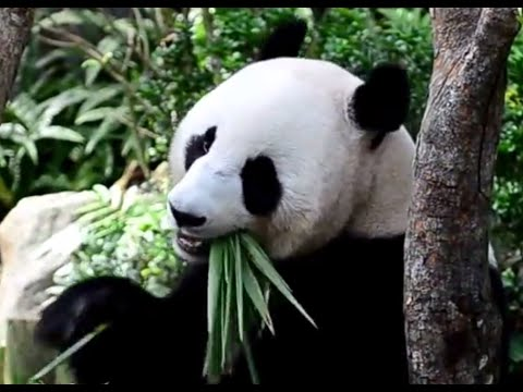 cute giant panda eating bamboo youtube