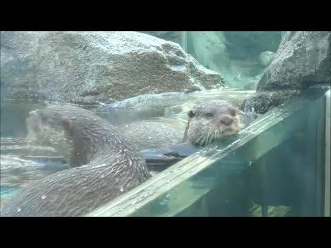 【鳥羽水族館】隣のペンギンがうらやましすぎてじたばたするコツメカワウソが可愛い♥コツメカワウソのお食事タイム☆Aonyx cinerea・Oriental small-clawed otter