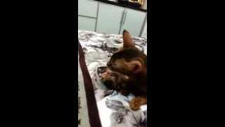 Абиссинская кошка с сынулей