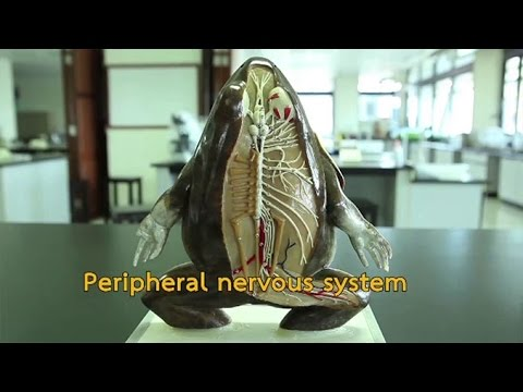 ระบบต่างๆของร่างกาย กายวิภาคกบ วิทยาศาสตร์ ม.4-6 (ชีววิทยา)