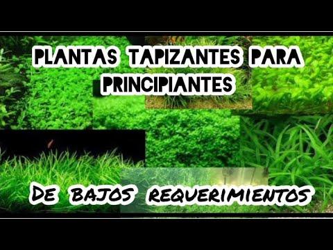 plantas tapizantes aquatic plants youtube On plantas tapizantes