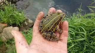Gambar cover 100#. Odłowione żaby z oczka odzyskują wolność.