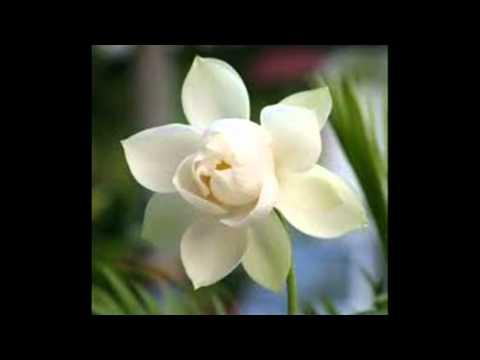 ຈຳປາເມືອງລາວ.Hoa Dep Cham Pa