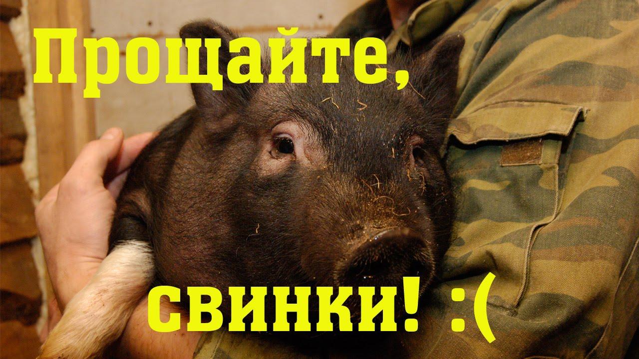 инструкция по разведению въетнамских свинней