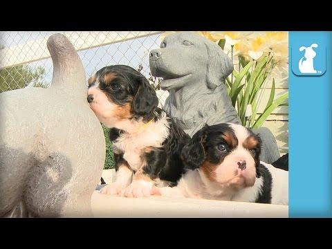 Hilarious Cavalier Puppy Sniffs Butt Of Dog Statue - Puppy Love