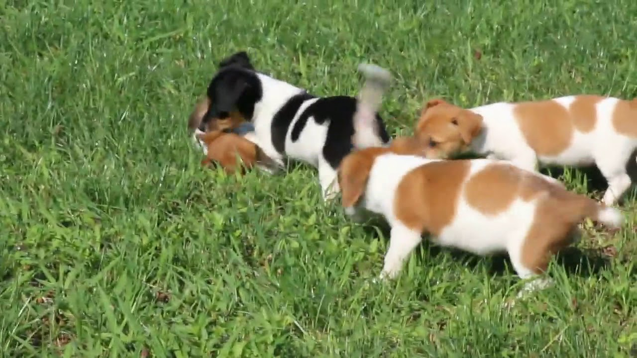 Jack russell terrier puppies for sale youtube - Jack russel queue coupee ...
