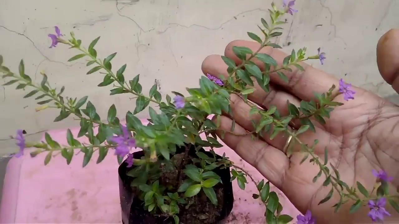 how to grow Cuphea Hyssopifolia Plant