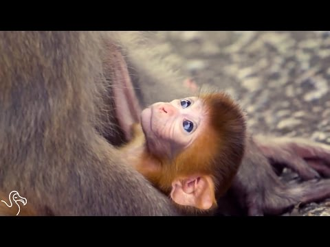 Baby Monkey Tries To Hang On To His Mom