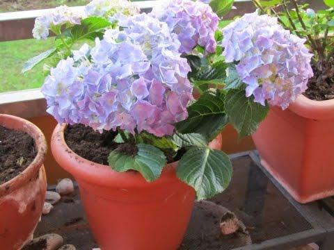 Гортензія кімнатна – догляд в домашніх умовах, особливості вирощування