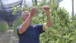 Savremena proizvodnja jabuka u Horgosu - U nasem ataru 743