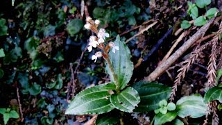 An endangered ground orchid species, the ultra rare jewel orchid of southern Japan, Odontochilus
