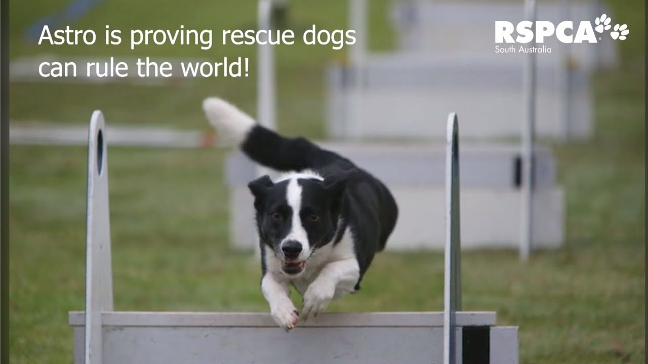 9 Reasons You Definitely Shouldn T Adopt A Rescue Dog Rspca South Australia