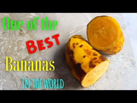 ONE OF THE BEST BANANAS IN THE WORLD||PISANG ANDONG||