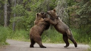 Голодные медведи на Сахалине 2016(, 2016-08-04T14:15:31.000Z)
